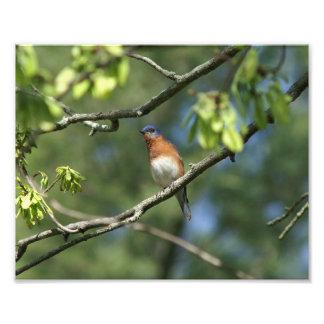 Eastern Bluebird Photo Print.