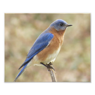 Eastern Bluebird Photo Print