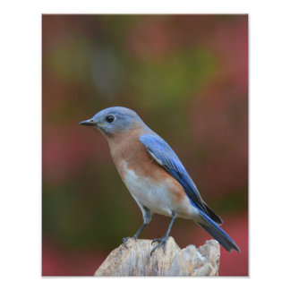 Eastern bluebird photograph