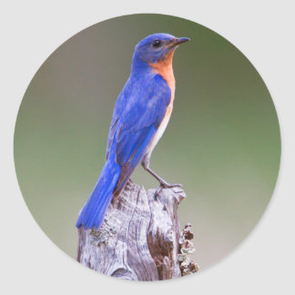 Eastern Bluebird (Sialia Sialis) Adult Male Classic Round Sticker