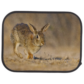 Eastern cottontail rabbit hopping car carpet