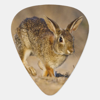 Eastern cottontail rabbit hopping pick