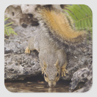 Eastern Fox Squirrel, Sciurus niger, adult 2 Square Sticker