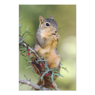 Eastern Fox Squirrel, Sciurus niger, adult Photo Print