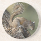 Eastern Grey Squirrel, or grey squirrel Coaster