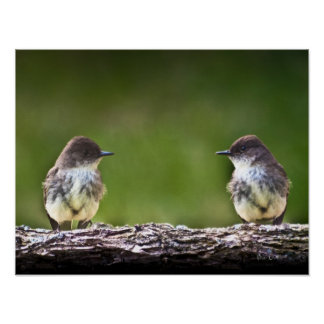Eastern Phoebe Fledglings Poster