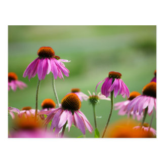 Eastern Purple Coneflowers Postcard