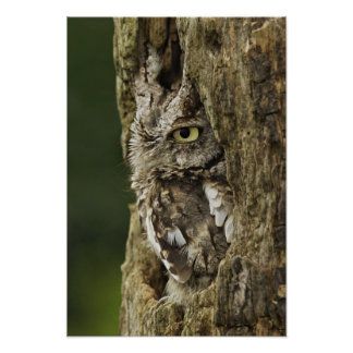 Eastern Screech Owl Gray Phase) Otus asio, Poster