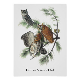 Eastern Screech Owl, John Audubon Poster