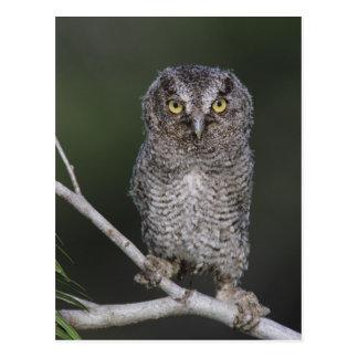 Eastern Screech-Owl, Megascops asio, Otus 2 Postcard