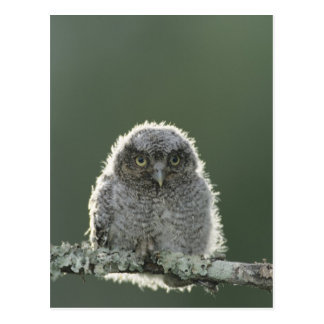 Eastern Screech-Owl, Megascops asio, Otus 3 Postcard