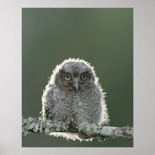 Eastern Screech-Owl, Megascops asio, Otus 3 Print