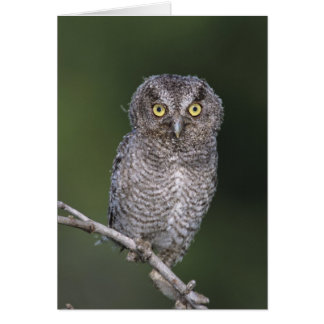 Eastern Screech-Owl, Megascops asio, Otus Card