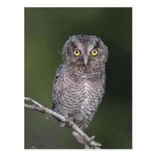 Eastern Screech-Owl, Megascops asio, Otus Postcard