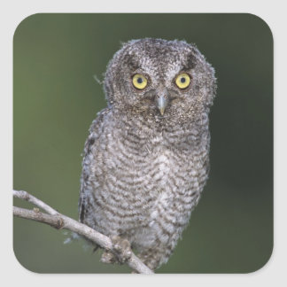 Eastern Screech-Owl, Megascops asio, Otus Square Sticker