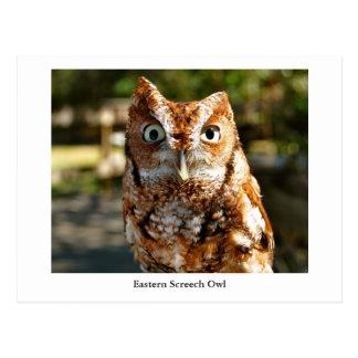Eastern Screech Owl Postcard