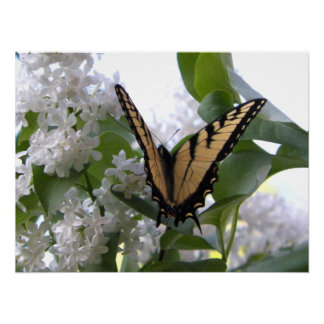 Eastern Tiger Swallowtail Butterfly on White Lilac Poster