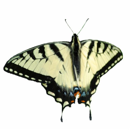 Eastern Tiger Swallowtail Butterfly pin Photo Cut Out