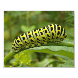Eastern Tiger Swallowtail Caterpillar Photo Print
