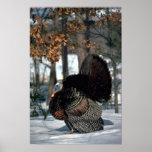 Eastern wild turkey, big gobbler strutting in snow print