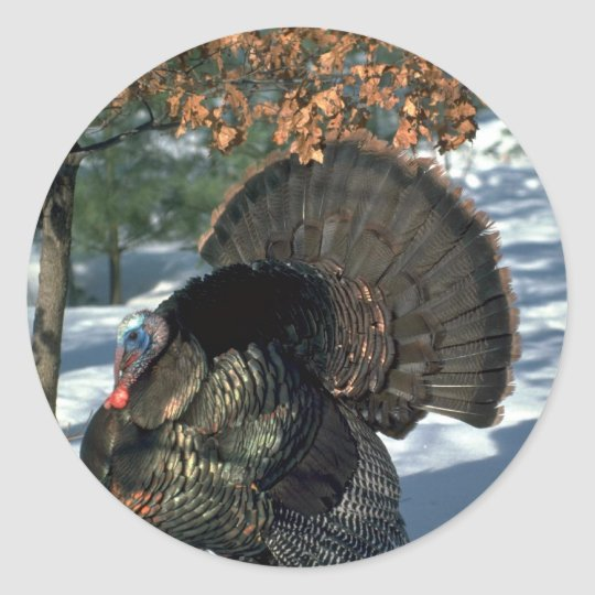 Eastern wild turkey, huge gobbler in full strut classic round sticker