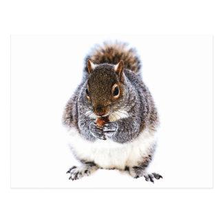 Eating Squirrel Postcard