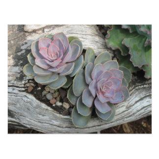 Echeveria Succulent Postcard