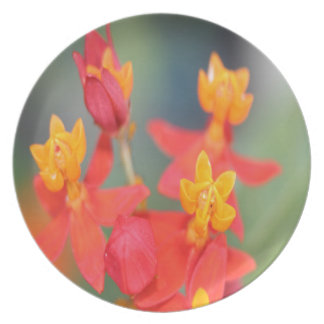Echeveria Succulent Red and Yellow Flower Plate