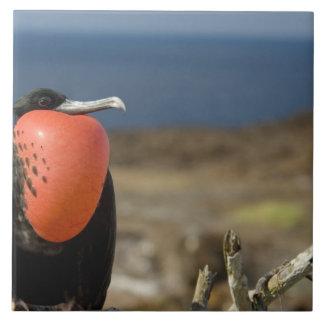 Ecuador, Galapagos, Genovesa Island. Prince Ceramic Tile