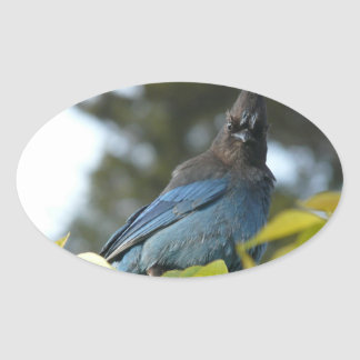 Ed Sutton - Steller Jay Oval Sticker
