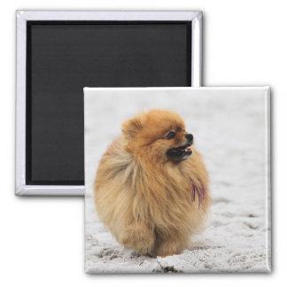Edgrrrr #3 - Pomeranian Fridge Magnets