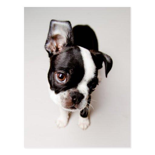 Edison Boston Terrier puppy. Postcards