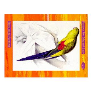 Edward Lear. Black-tailed Parakeet. Postcard