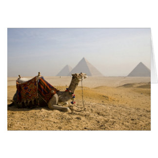Egypt, Cairo. A lone camel gazes across the Card