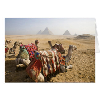 Egypt, Cairo. Resting camels gaze across the Card