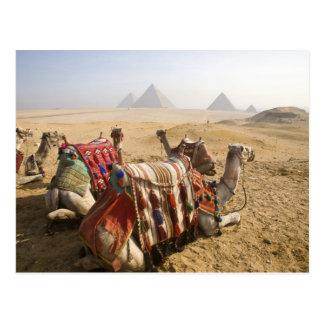 Egypt, Cairo. Resting camels gaze across the Postcard
