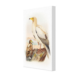 Egyptian Vulture John Gould Birds of Great Britain Canvas Print