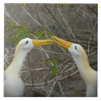 Elaborate courtship dance of Waved Albatros, Ceramic Tile