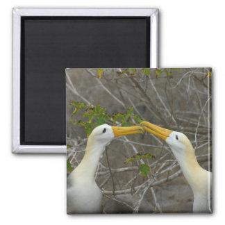 Elaborate courtship dance of Waved Albatros, Magnet