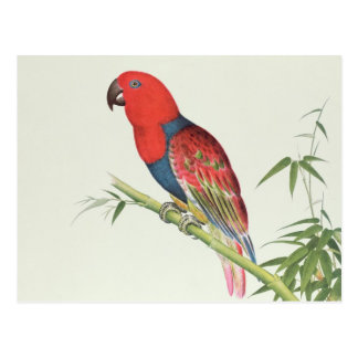 Electus Parrot, on a bamboo shoot Postcard