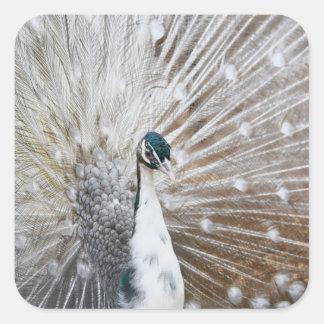 Elegant Albino Peacock Square Sticker