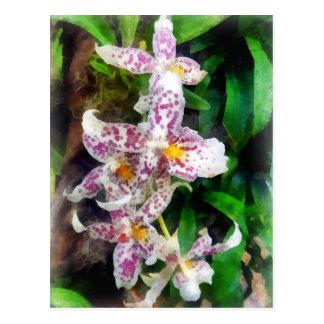 Elegant Beallara Orchid Postcard