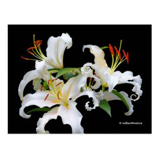 Elegant Casablanca White Oriental Lilies Postcard