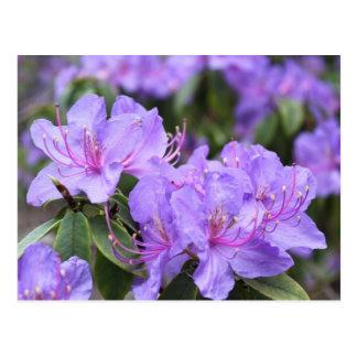 elegant purple  azalea flowers,  杜 鹃 花 postcard