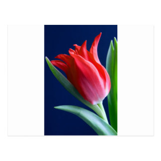 Elegant red tulip postcard