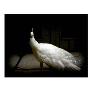Elegant white peacock vintage nature bird photo postcard