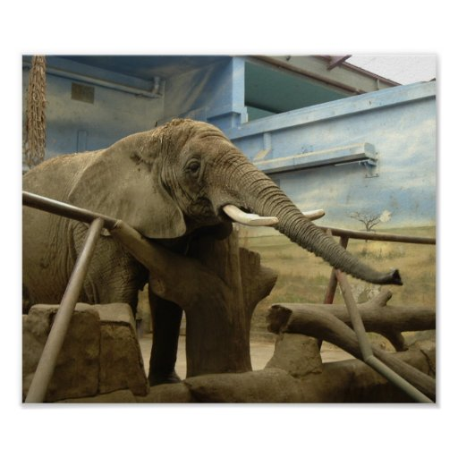 Elephant Close-up Posters