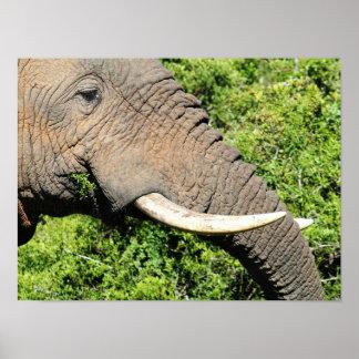 Elephant Eating Poster