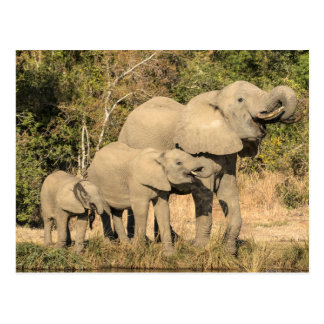 Elephant Family Drinking Postcard
