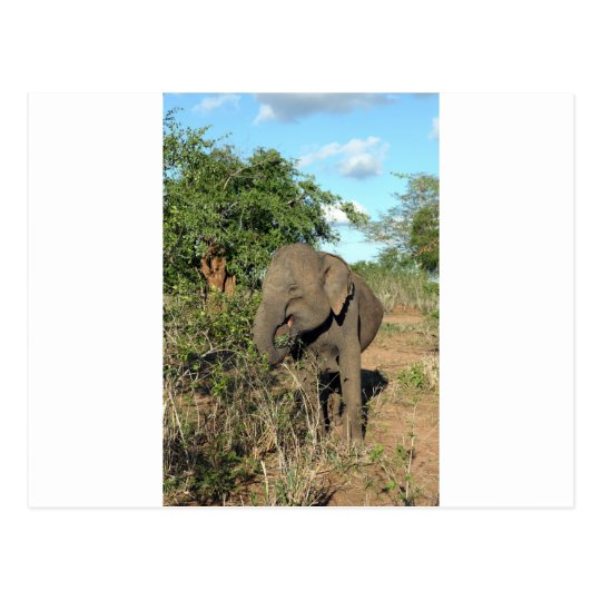 Elephant feeding Uda Walawe National park Postcard